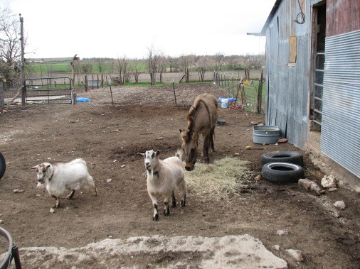 Feeding goats and mule